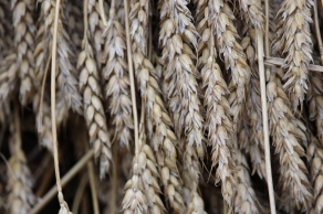 Mt. Vernon - WHEAT!
