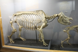 Museum of Natural History: Rhino Skeleton
