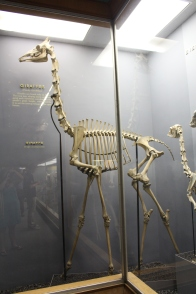 Museum of Natural History: Giraffe skeleton