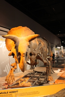 Museum of Natural History: Triceratops