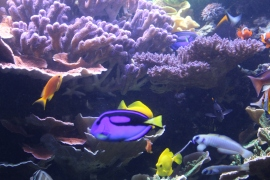 Museum of Natural History: Coral reef tank.