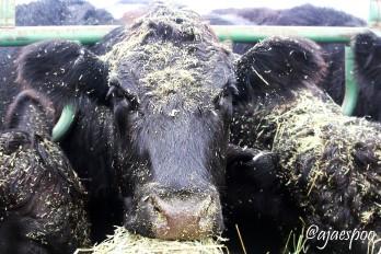 feeding-cows-edited-4-namemark