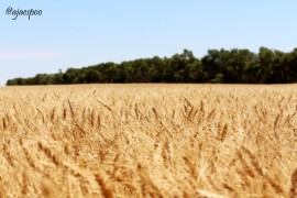 JUL18 - ND Spring Wheat Tour - (5) NAMEMARK