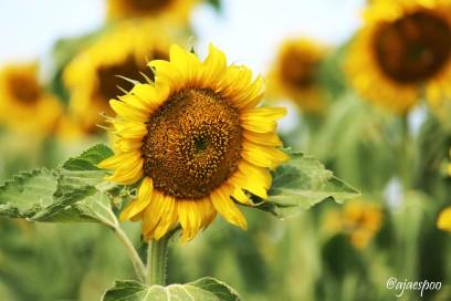JUL18 - ND Sunflowers - (1) NAMEMARK